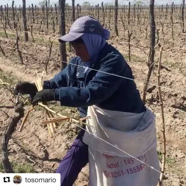 with the ability of women to complete the task  #luna Austral #biodynamicwines #ucovalley #vine @tosomario